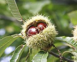 chataignier 295px chestnuts m
