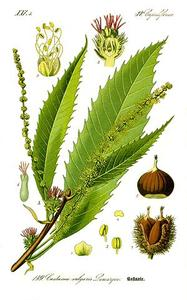 chataignier 300px illustration castanea sativa0 clean m